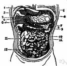 omentum - a fold of peritoneum supporting the viscera