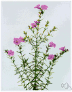 Agalinis - semiparasitic herb with purple or white or pink flowers