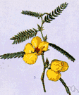 Cassia fasciculata - tropical American plant having leaflets somewhat sensitive to the touch