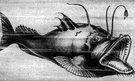 angler - fishes having large mouths with a wormlike filament attached for luring prey