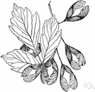 box elder - common shade tree of eastern and central United States