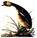 Podiceps nigricollis - small grebe with yellow ear tufts and a black neck