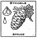 Strobile - cone-shaped mass of ovule- or spore-bearing scales or bracts