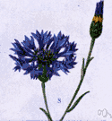 cornflower - an annual Eurasian plant cultivated in North America having showy heads of blue or purple or pink or white flowers