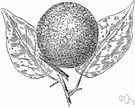mock orange - small shrubby deciduous yellowwood tree of south central United States having spines, glossy dark green leaves and an inedible fruit that resembles an orange