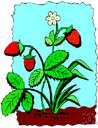 strawberry bush - upright deciduous plant with crimson pods and seeds