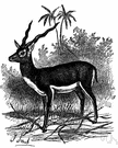 Antilope cervicapra - common Indian antelope with a dark back and spiral horns