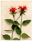 bee balm - perennial aromatic herb of eastern North America having variously colored tubular flowers in dense showy heads