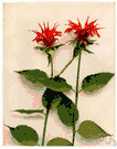 beebalm - perennial aromatic herb of eastern North America having variously colored tubular flowers in dense showy heads
