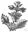 horehound - any of various aromatic herbs of the genus Marrubium
