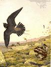 tiercel - male hawk especially male peregrine or gyrfalcon