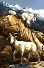 mountain goat - sure-footed mammal of mountainous northwestern North America