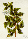 Toxicodendron - in some classifications: comprising those members of the genus Rhus having foliage that is poisonous to the touch