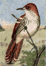 brown thrasher - common large songbird of eastern United States having reddish-brown plumage