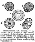 plasmodium - multinucleate sheet of cytoplasm characteristic of some stages of such organisms as slime molds