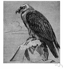 Gypaetus barbatus - the largest Eurasian bird of prey