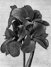 canna - any plant of the genus Canna having large sheathing leaves and clusters of large showy flowers