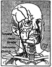 arteria angularis - the terminal branch of the facial artery