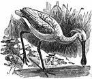 Platalea - type genus of the Plataleidae
