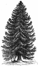 Norway spruce - tall pyramidal spruce native to northern Europe having dark green foliage on spreading branches with pendulous branchlets and long pendulous cones