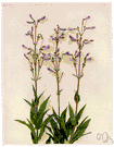 genus Penstemon - large genus of subshrubs or herbs having showy blue or purple or red or yellow or white flowers