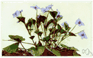 long-spurred violet - violet of eastern North America having lilac-purple flowers with a long slender spur