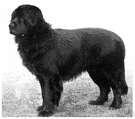 Newfoundland - a breed of very large heavy dogs with a thick coarse usually black coat
