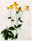 Rudbeckia laciniata - tall leafy plant with erect branches ending in large yellow flower heads with downward-arching rays