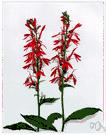 Lobelia cardinalis - North American lobelia having brilliant red flowers