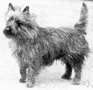 cairn terrier - small rough-haired breed of terrier from Scotland