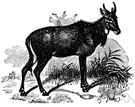genus Boselaphus - Indian antelopes: nilgais