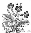polyanthus - florists' primroses