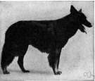 Belgian shepherd - hardy working dog developed in Belgium for herding sheep