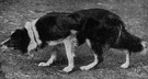 Border collie - developed in the area between Scotland and England usually having a black coat with white on the head and tip of tail used for herding both sheep and cattle