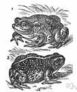 natterjack - common brownish-yellow short-legged toad of western Europe
