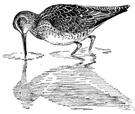 greyback - a dowitcher with a grey back