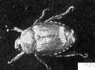 Popillia - a genus of Scarabaeidae