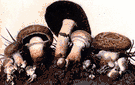 field mushroom - common edible mushroom found naturally in moist open soil