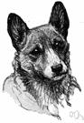 Short Legged Long Bodied Breed Of Dog Erect Ears