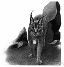 caracal - of deserts of northern Africa and southern Asia