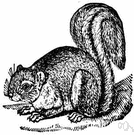 fox squirrel - exceptionally large arboreal squirrel of eastern United States