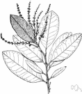 genus Castanopsis - evergreen trees and shrubs of warm regions valued for their foliage