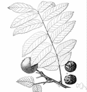 California black walnut - medium-sized tree with somewhat aromatic compound leaves and edible nuts