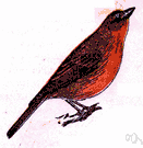 hepatic tanager - common tanager of southwestern United States and Mexico
