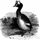 genus Podiceps - type genus of the Podicipedidae: grebes