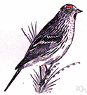 Carduelis hornemanni - small siskin-like finch with a red crown