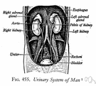 abdominovesical - of or relating to the abdomen and the urinary bladder