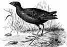 porphyrio - Old World purple gallinules