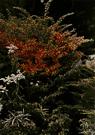 Berberis thunbergii - compact deciduous shrub having persistent red berries