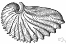 Argonauta - type genus of the family Argonautidae: paper nautilus